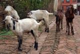 Goats in the Street Bhaktapur