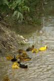 Ducks Dyed Yellow Bhaktapur