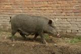 Hairy Pig Bhaktapur