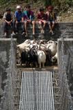 Goats by Suspension Bridge Tikhedhunga
