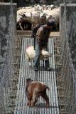 Goats on Suspension Bridge Tikhedhunga