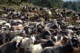 Large Herd of Goats near Ghorepani