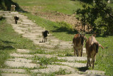 Goats on the Path near Changu Narayan