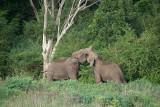 Fighting Elephants at Kaudulla