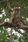 Macaque Monkey in a Tree Mihintale