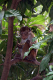 Macaque Monkey in a Tree Mihintale 02