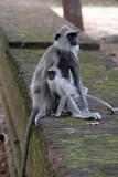 Langur Monkeys at Polonnaruwa