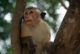 Monkey in a Tree Polonnaruwa