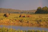 Elephants in the Evening Kaudulla