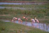 Painted Storks at Kaudulla