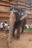 Temple Elephant at Brihadeeswarar Temple
