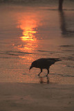 Crow at Sunset Varkala