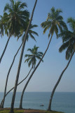 Palm Trees on the Cliff Varkala
