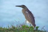 Pond Heron on Grass Varkala