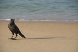 Crow on the Sand Varkalal