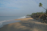 Palm Tree over Black Beach Varkala