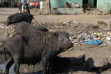 Hairy Pigs Bijapur