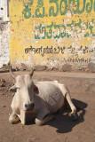 Resting Cow Bijapur