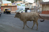 Bull in the Road Bijapur
