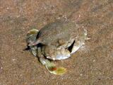 Eight-Oared Crab