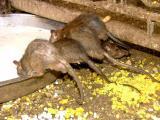Rats Arses