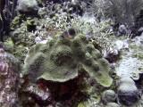 Barred Hamlet and Hard Coral