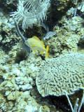 French Grunt Fish