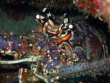 Close up Lobster