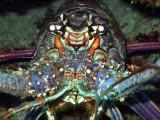 Full Frontal Lobster