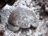 Green Turtle 1