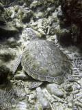 Green Turtle 4