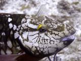 Parrot Fish Head