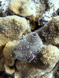 Christmas Tree Worms on Hard Coral