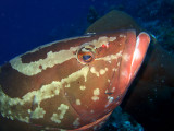 Grouper Being Cleaned 3