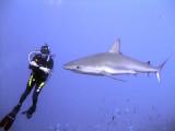 Diver Watching a Reef Shark