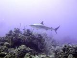 Shark at Gully