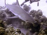 Swimming Shark 3
