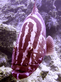 Freindly Grouper 2