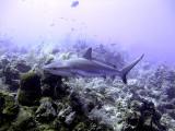 Swimming Shark 4