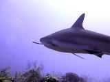 Swimming Shark 5