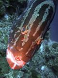 Grouper up Close 2