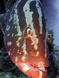 Grouper up Close 3