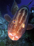 Grouper up Close 4