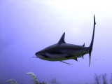 Swimming Shark 6