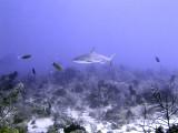 Swimming Shark 8