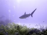 Swimming Shark 9