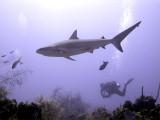 Swimming Shark 10