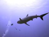 Swimming Shark 11