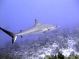 Swimming Shark 12