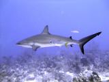 Swimming Shark 13